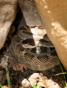Rattlesnake Hiding Under Rocks
